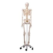 Anatomical Flexible Skeleton Model - Fred