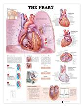 Anatomical Chart - The Heart